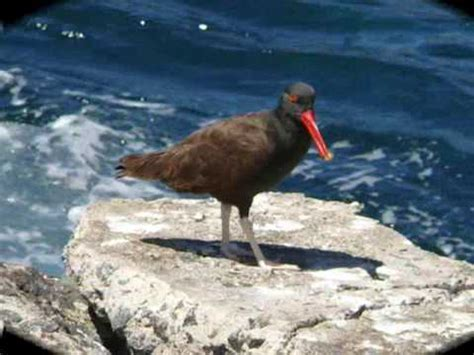 AVES COSTERAS DE CHILE   YouTube
