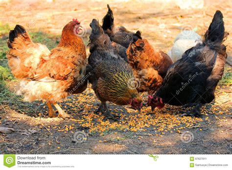 Aves De Corral De Alimentación Al Aire Libre Imagen de ...