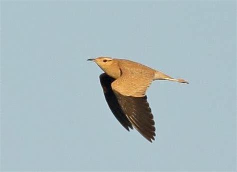 Aves de Extremadura: CORREDOR SAHARIANO: 20 AÑOS DESPUÉS