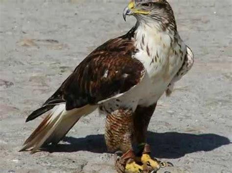 Aves de Rapina [parte 1]...Águias, Gaviões e Falcões ...