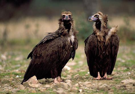 Aves del bosque esclerófilo en Cabañeros El buitre negro
