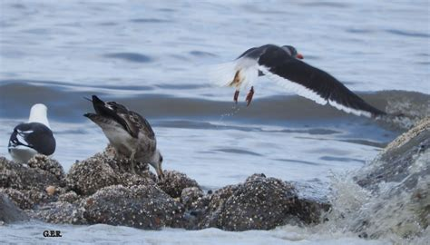 Aves del Golfo San Jorge: Aves costeras alimentándose