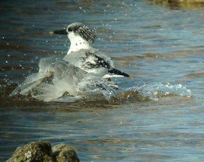 Aves en Canarias: Aves Marinas
