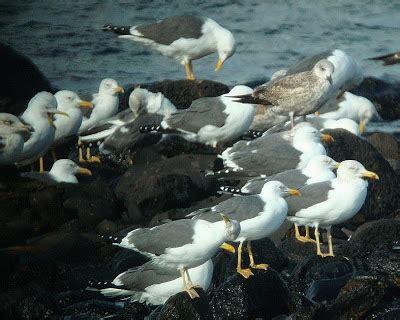 Aves en Canarias: Especial: Aves Marinas