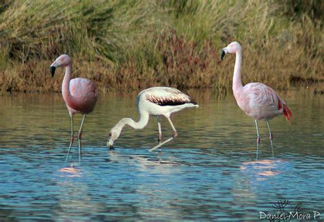 Aves en Talcahuano: FLAMENCO CHILENO  Phoenicopterus ...