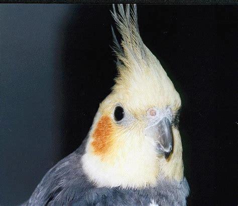 Aves Exóticas: Cacatúa Ninfa