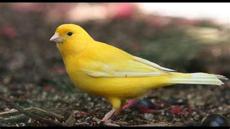 Aves exóticas: Los Canarios más bonitos del mundo 2018 ...