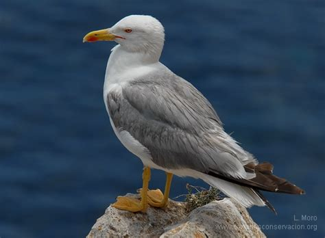 aves marinas canarias costeras  CANARIAS CONSERVACIÓN ...