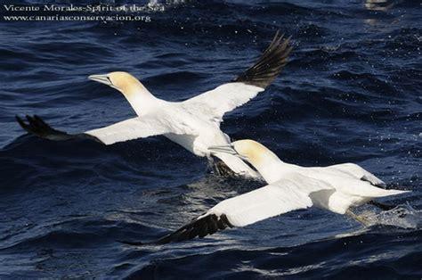 aves marinas canarias4  CANARIAS CONSERVACIÓN   Cetacean ...