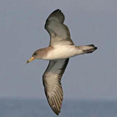 Aves marinas y parásitos: una larga historia evolutiva ...