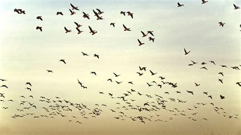 Aves migratorias sobre las marismas de Doñana