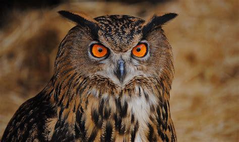 Aves Nocturnas Espana   SEONegativo.com