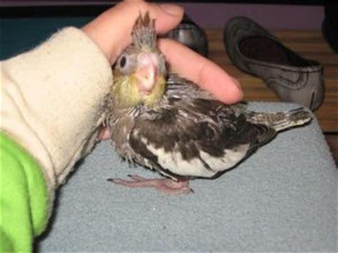 Aves papilleras