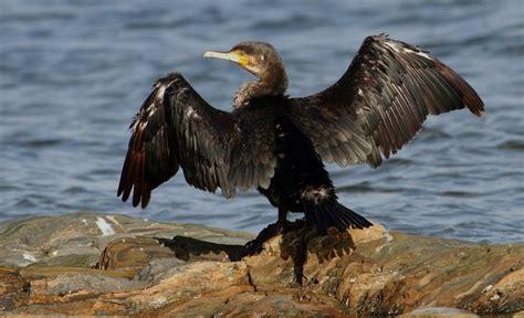 Aves por España: Cormorán grande  Phalacrocorax carbo