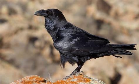 Aves por España: Cuervo  Corvus corax canariensis