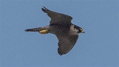 Aves rapaces a la caza en Diagonal Mar
