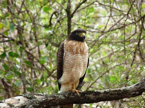 Aves rapaces, depredadoras de alto rango e indicadoras de ...