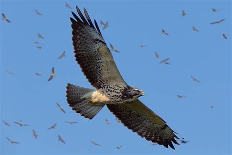 Aves rapaces migratorias sobrevolarán cielo panameño | Critica