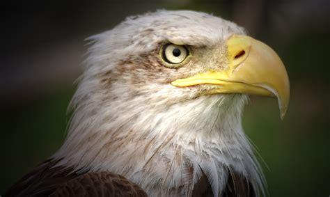 Aves Rapaces o de presa   Las Aves rapaces o aves de presa ...
