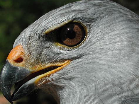 Aves rapaces ribereñas del Río San Pedro: Inventario ...