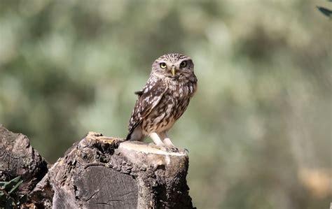 Aves y Fotografía de Naturaleza: Rapaces Nocturnas ...