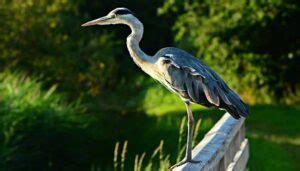 Aves Zancudas. Características, Clasificación, Populares