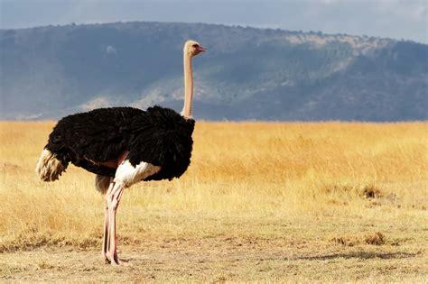 Avestruz   Aves   InfoEscola