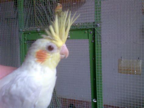 aviario granado magriz: NINFAS