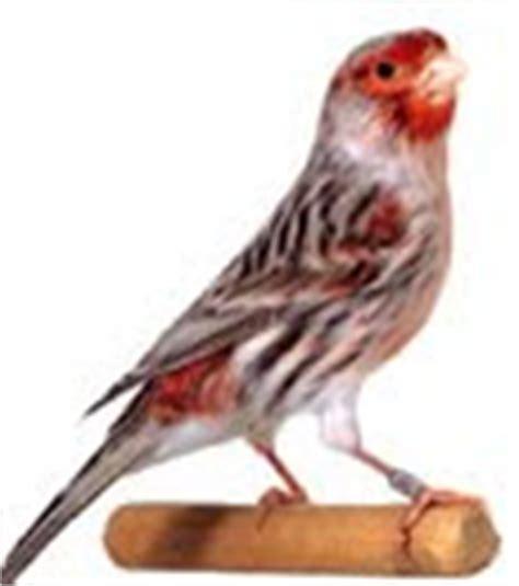 Aviario LEYEX: Razas de canarios