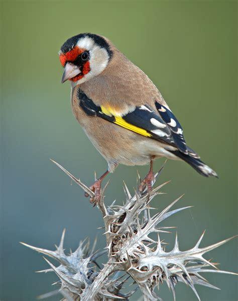 Aviario Neochmia: El Jilguero
