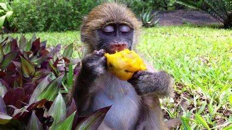 Baby Chacma Baboon Eats a Mango   YouTube