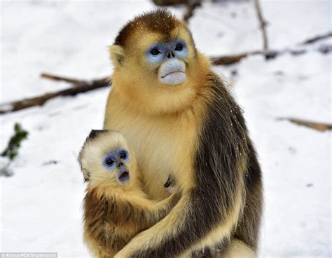 Baby golden monkey is stunned by snow in Chinese nature ...
