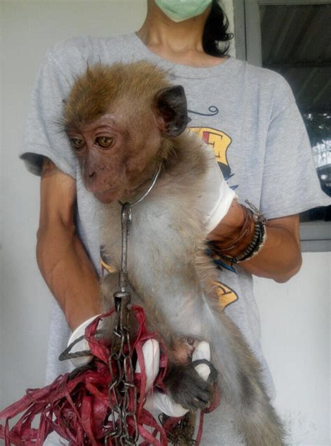 Baby Monkey Forced To  Dance  For Tourists Is Finally Freed