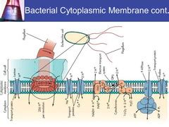 Bacteria Cell Structure_Garcia Russel flashcards | Quizlet