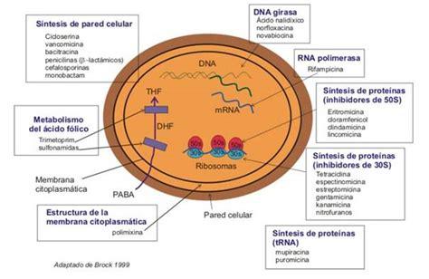 Bacterias Actuaciencia: mayo 2011