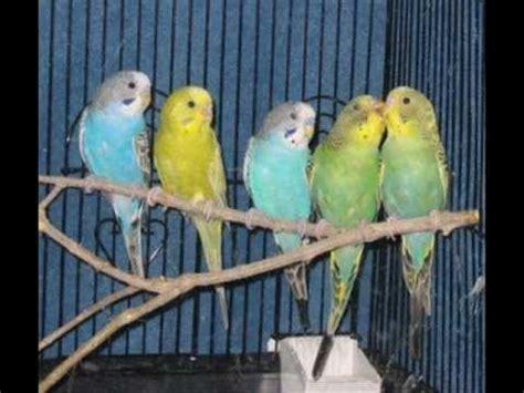 bajri birds or love birds   YouTube