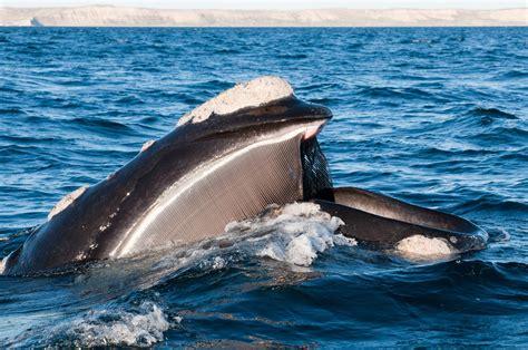 Baleia franca   Eubalaena   Biologia   InfoEscola