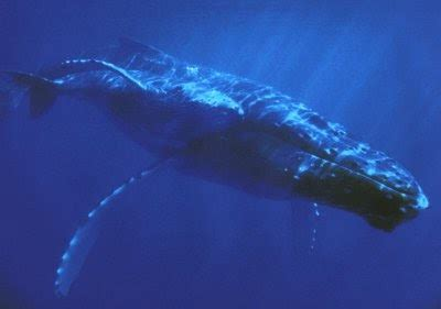Ballena Azul en el Océano: BALLENA AZUL