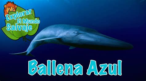 Ballena Azul Wikipedia   YouTube