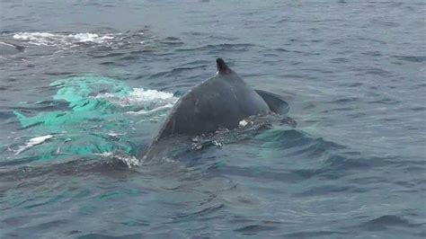 Ballenas Jorobadas. Bahía de Samaná   YouTube