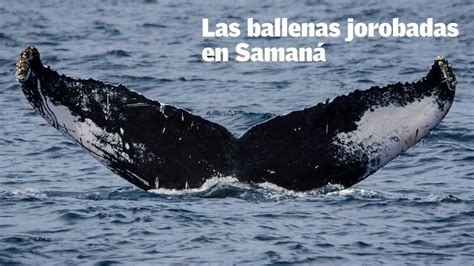 Ballenas jorobadas en Samaná   YouTube