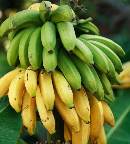 Banana  Cavendish  Dwarf 8  Pot   Hello Hello Plants ...