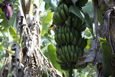 Banana – Cavendish – Oxley Nursery