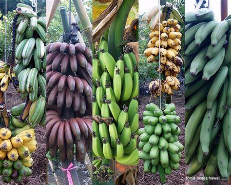 Bananas about Bananas: Morphology of the Banana Plants