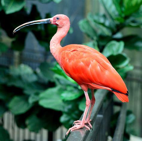 Banco de imagens : natureza, animal, vermelho, bico, fauna ...