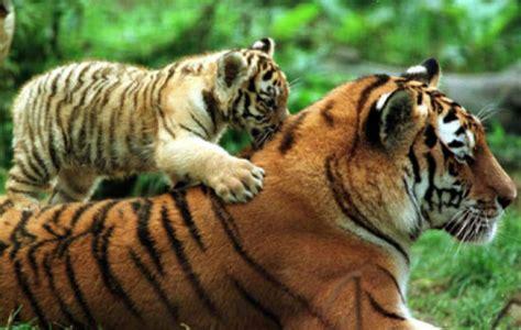 Bangladesh tiene 4 veces menos tigres de lo esperado en su ...