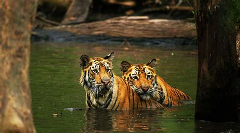 Bangladesh tiene 4 veces menos tigres en su principal ...