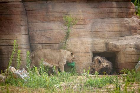 Barcelona mantiene el Zoo y traslada de zona a los leones ...