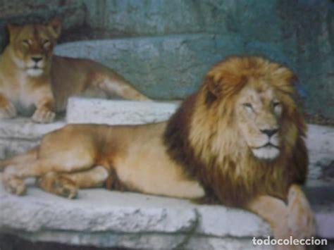 barcelona zoo leones.   Comprar Postales antiguas de ...