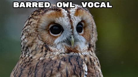 Barred Owl Sound Effect   YouTube